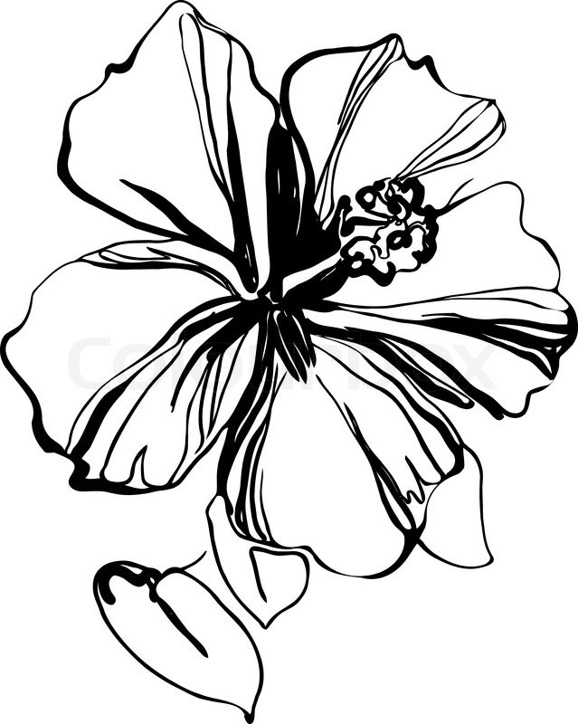 639x800 Hibiscus Black And White Sketch Drawing A Houseplant Stock