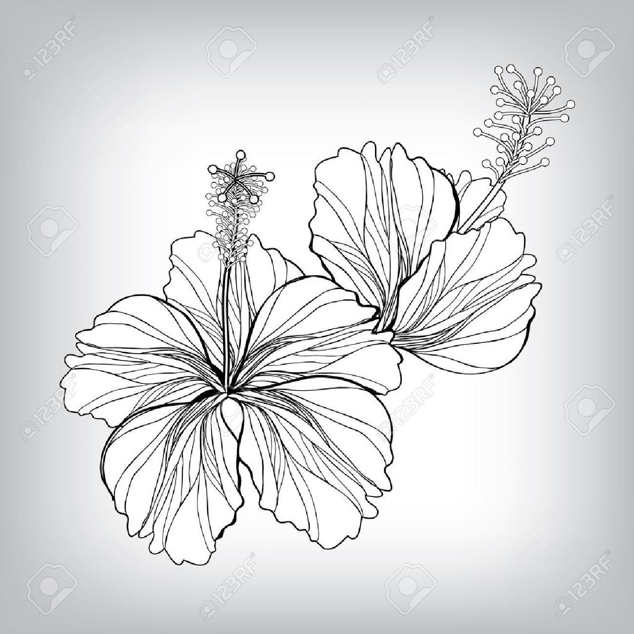 1300x1300 Hibiscus Flower Drawing. Elements For Design, Eps10 Vector