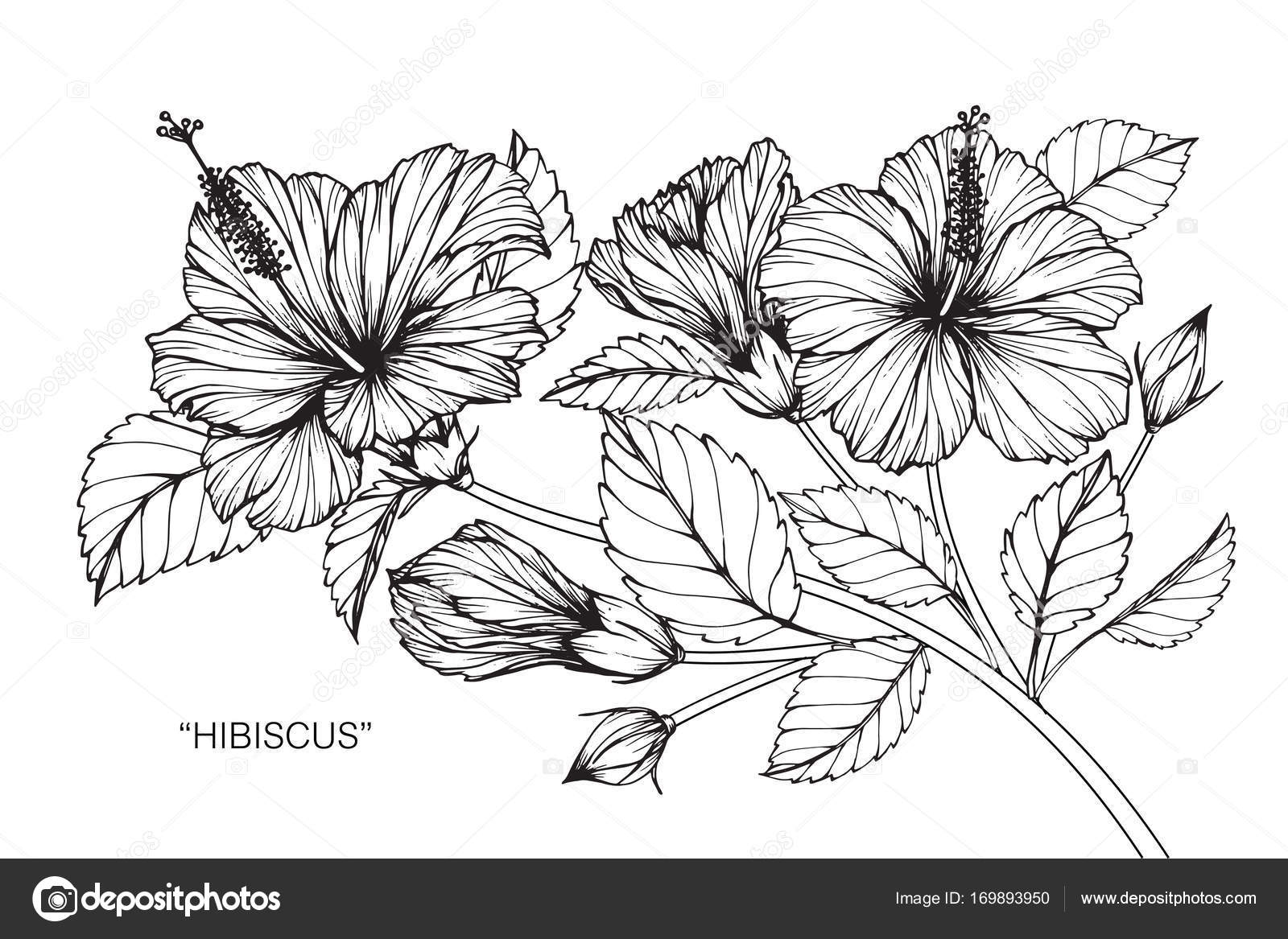 1600x1167 Hibiscus Flower. Drawing And Sketch With Black And White Line Art