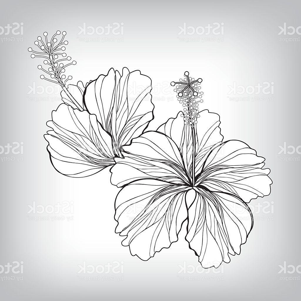 1024x1024 Best 15 Hibiscus Flower Drawing Vector Image