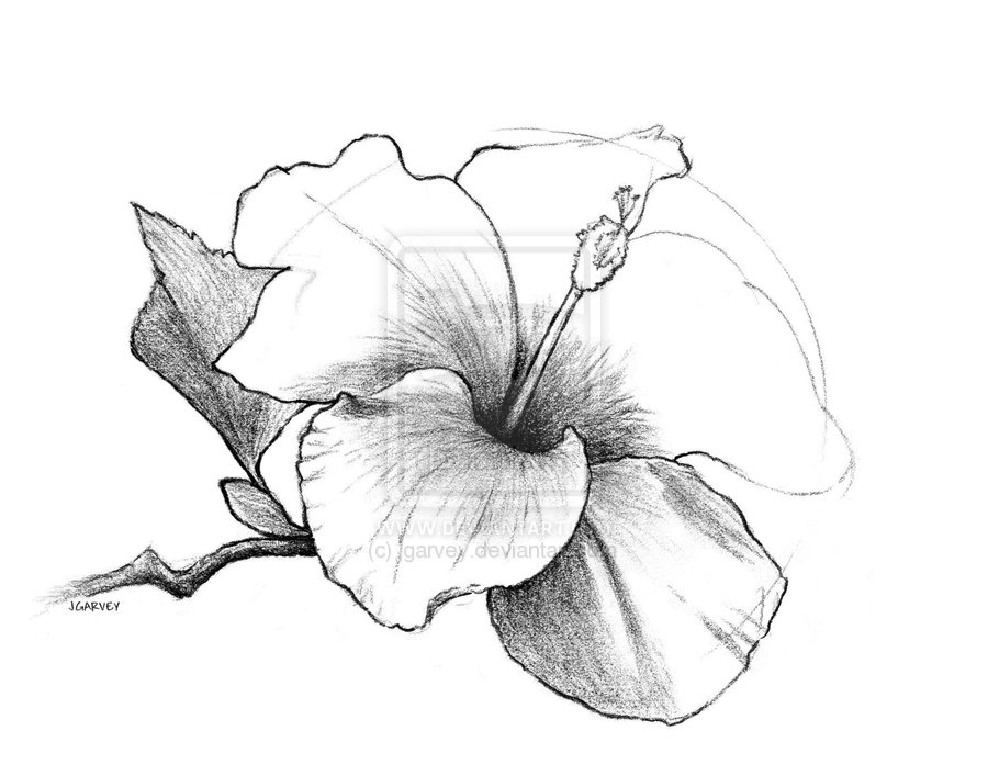 900x707 Draw Flowers Drawing, Hibiscus Flower By Jgarvey