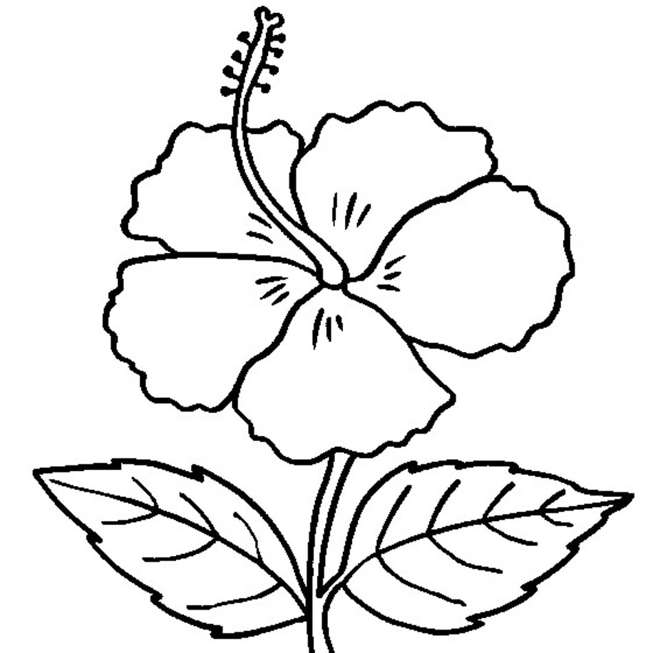 Hibiscus flower drawing at getdrawings free for personal use 950x950 coloring pages of hibiscus flowers coloring pictures of hibiscus izmirmasajfo