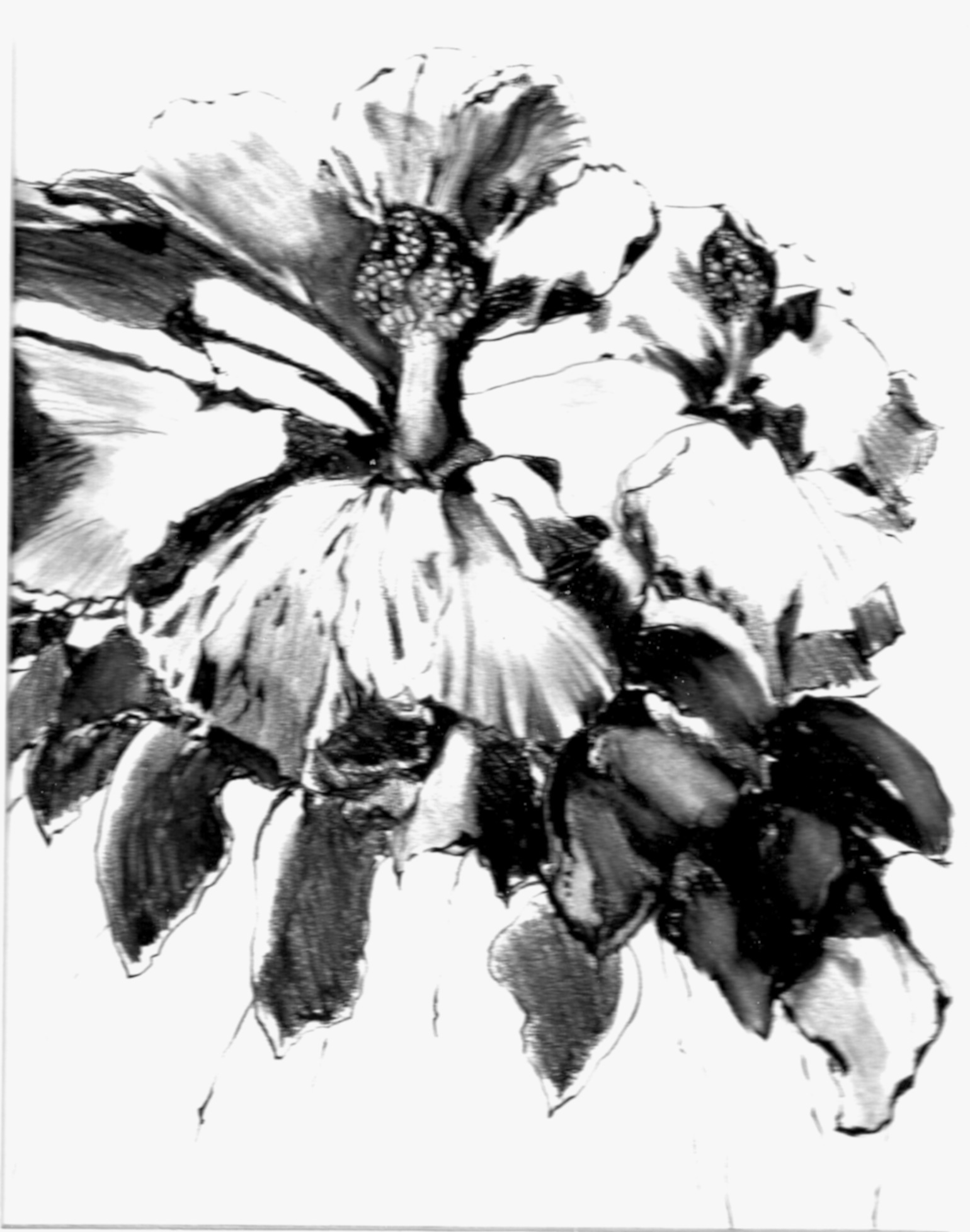1540x1956 Charcoal Pencil Hibiscus Drawing In Carol Taylor's Blog