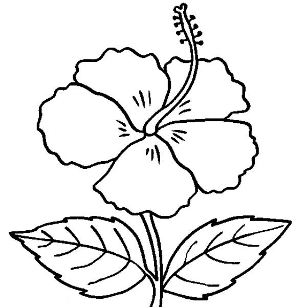 600x600 Hibiscus Flower Coloring Page