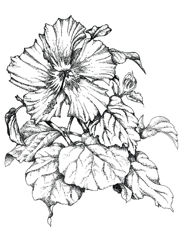 618x801 Hibiscus Flower Drawing