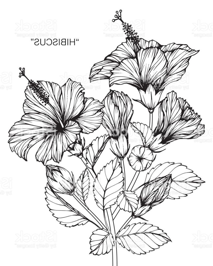 820x1024 Unique Hibiscus Flower Drawing Vector Images