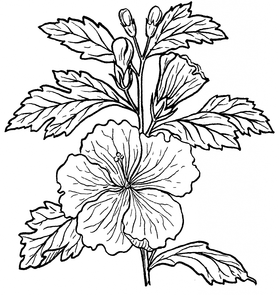 969x1024 Draw And Label The Hibiscus Flower