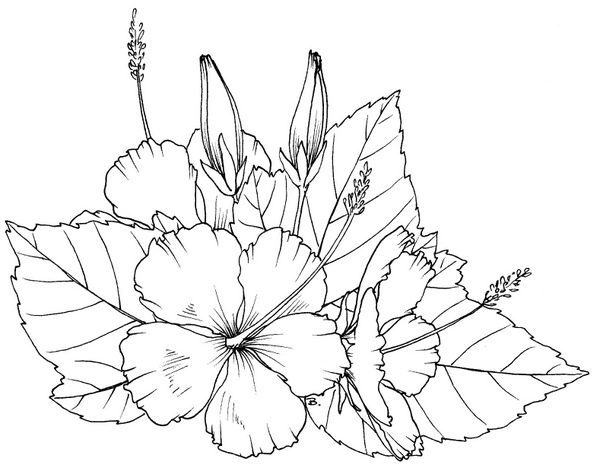 Hibiscus Line Drawing