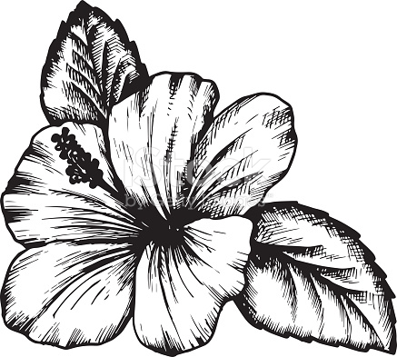 437x393 Hibiscus Flower Drawings Step