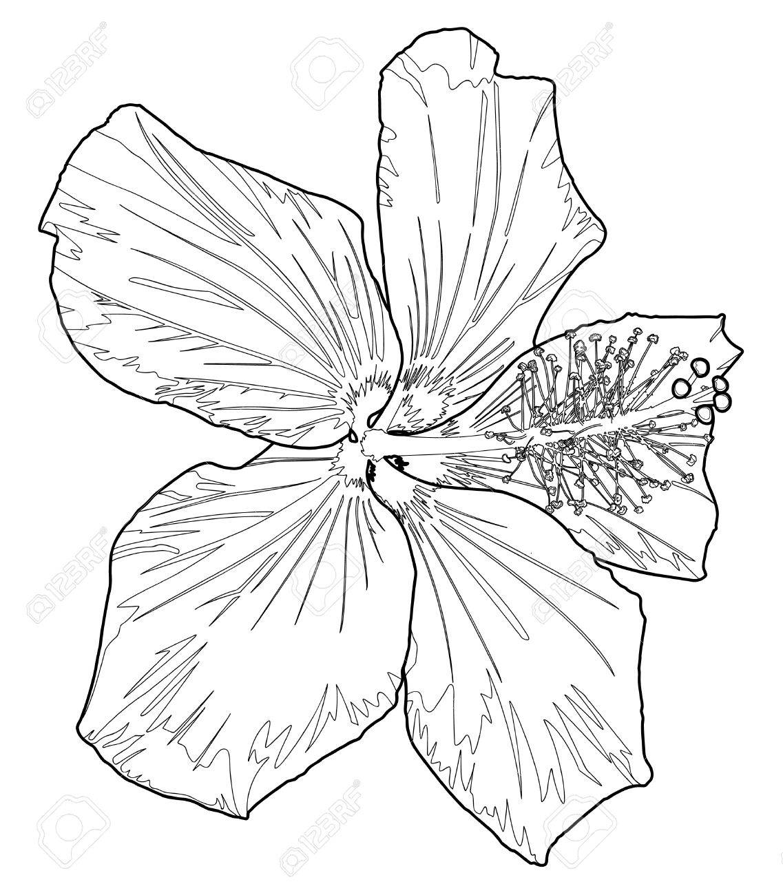 1137x1300 Hibiscus Line Drawing Two Royalty Free Cliparts, Vectors,