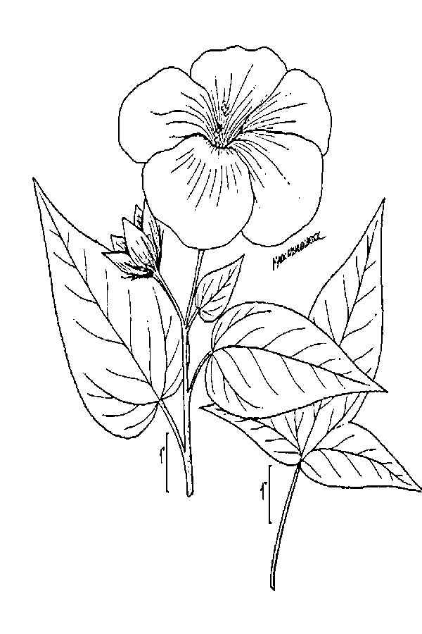 600x900 Large Image For Hibiscus Laevis (Halberdleaf Rosemallow) Usda Plants