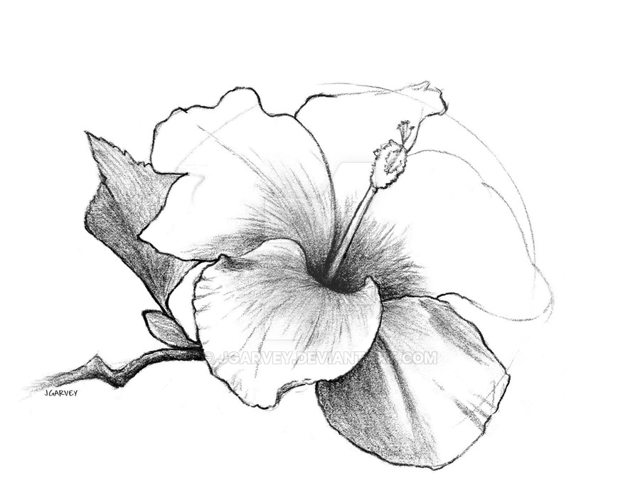 900x707 Drawing, Hibiscus Flower By Jgarvey