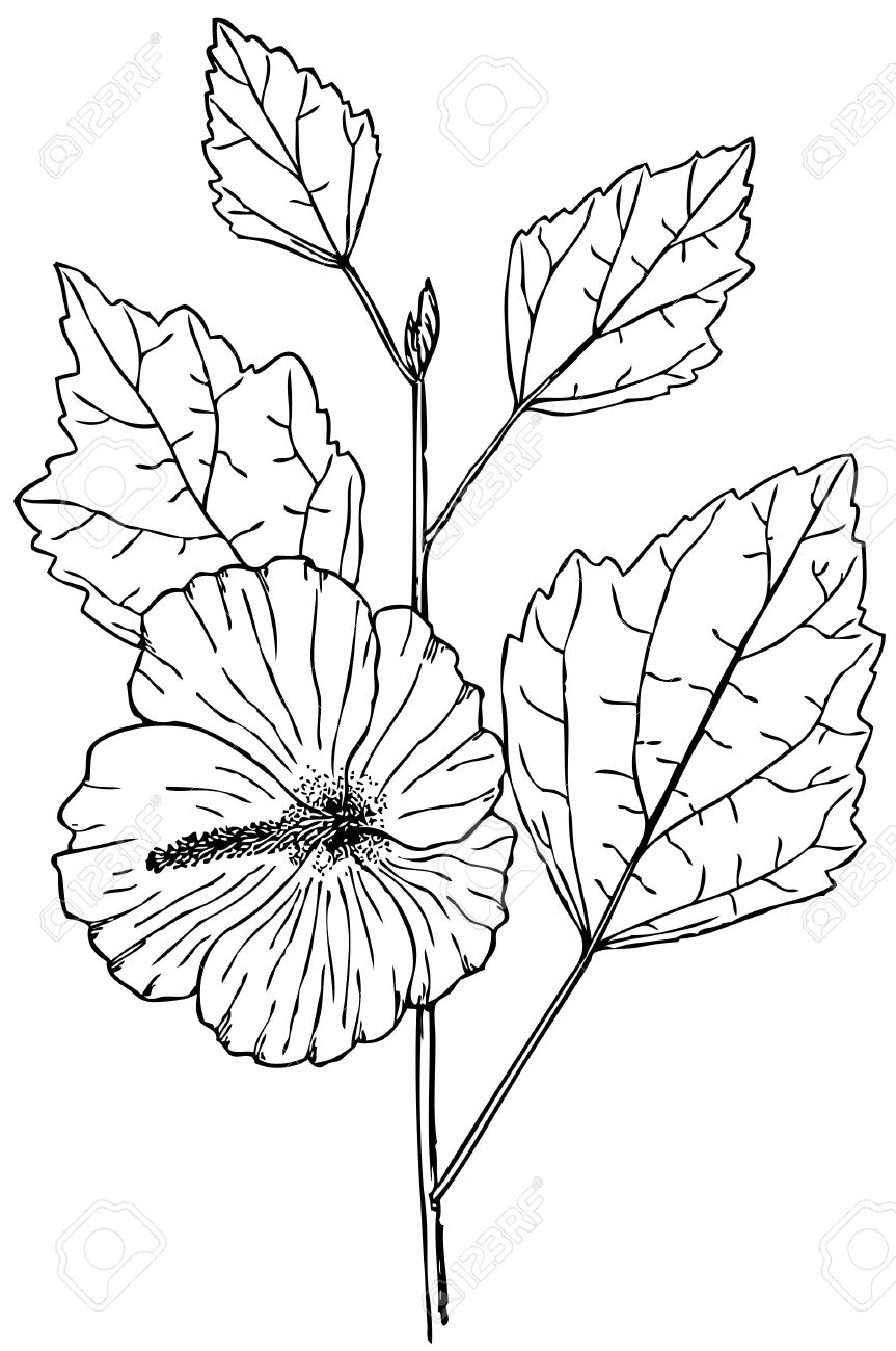 863x1300 Rose Of Sharon Drawing Plant Hibiscus Syriacus (Rose Of Sharon