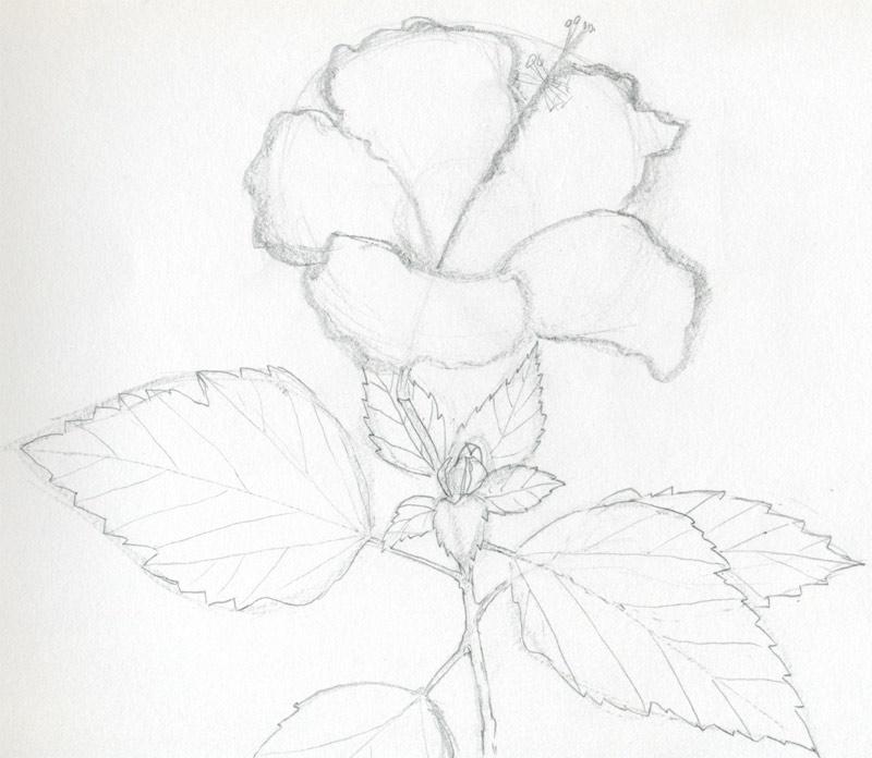 800x696 Hibiscus Flowers Drawing Tutorial