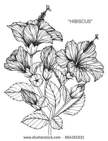 360x470 Photos Hibiscus Plant Drawn Sketches,