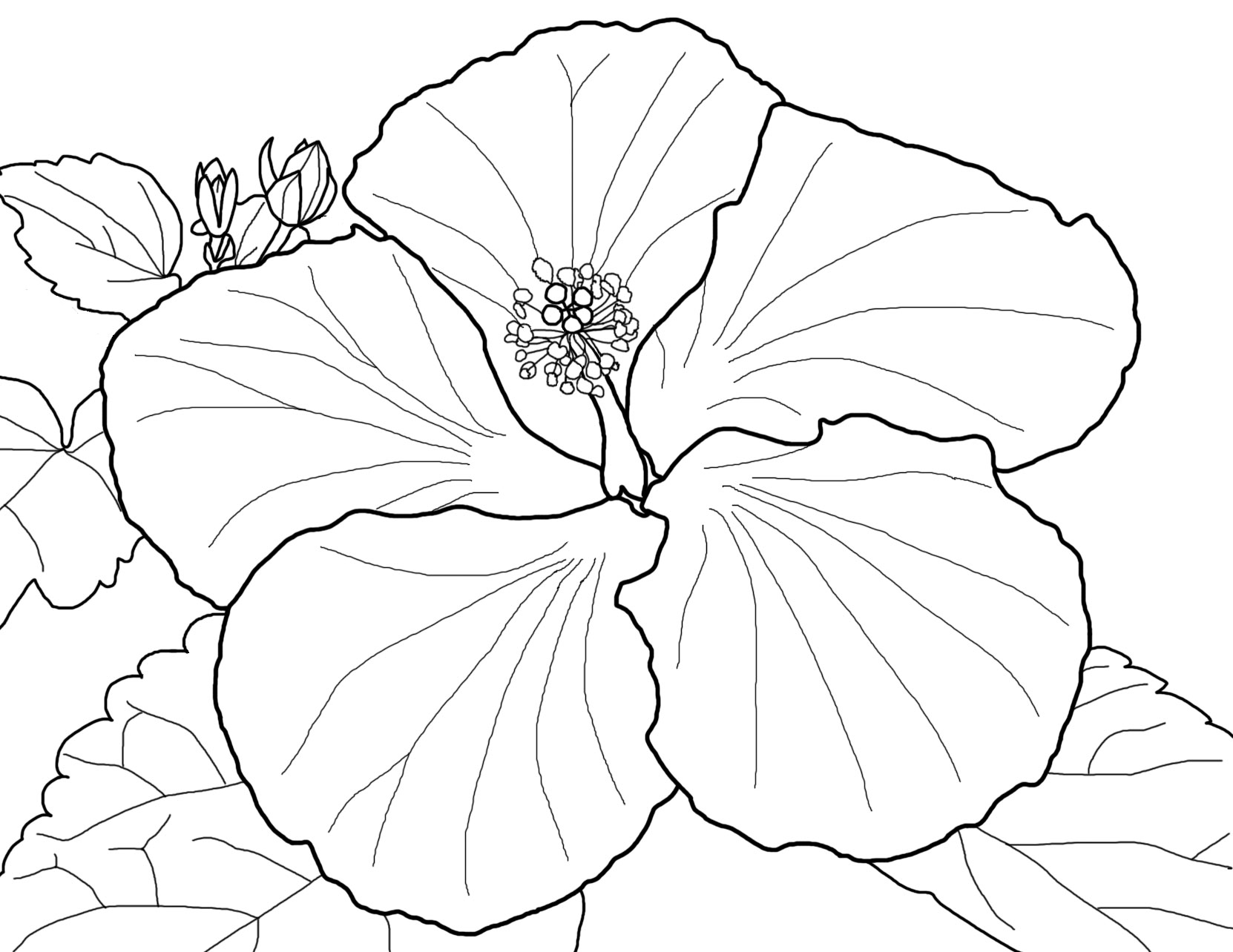 1662x1284 Beautiful Red Hibiscus Flower Colouring Pages