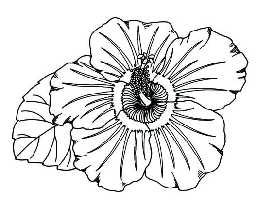 564x452 Hibiscus Flower Coloring Pages Flower Coloring Pages Printable
