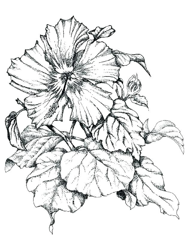 618x801 Hibiscus Flower Coloring Pages Hibiscus Flower Coloring Pages