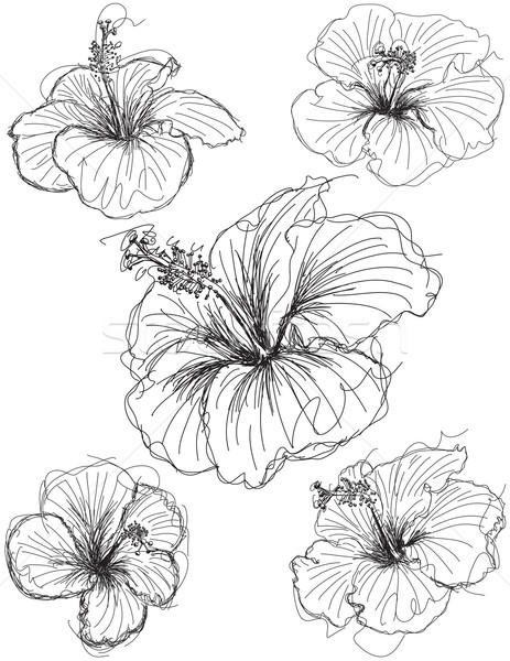 463x600 Hibiscus Flower Sketches Vector Illustration Zackery Blanton