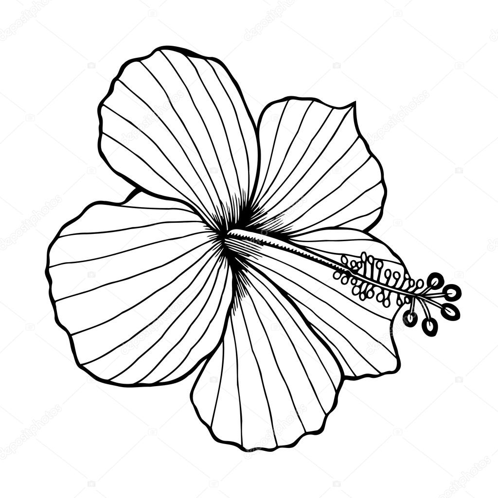 1024x1024 Hibiscus Flower Vector Stock Vector Frescomovie