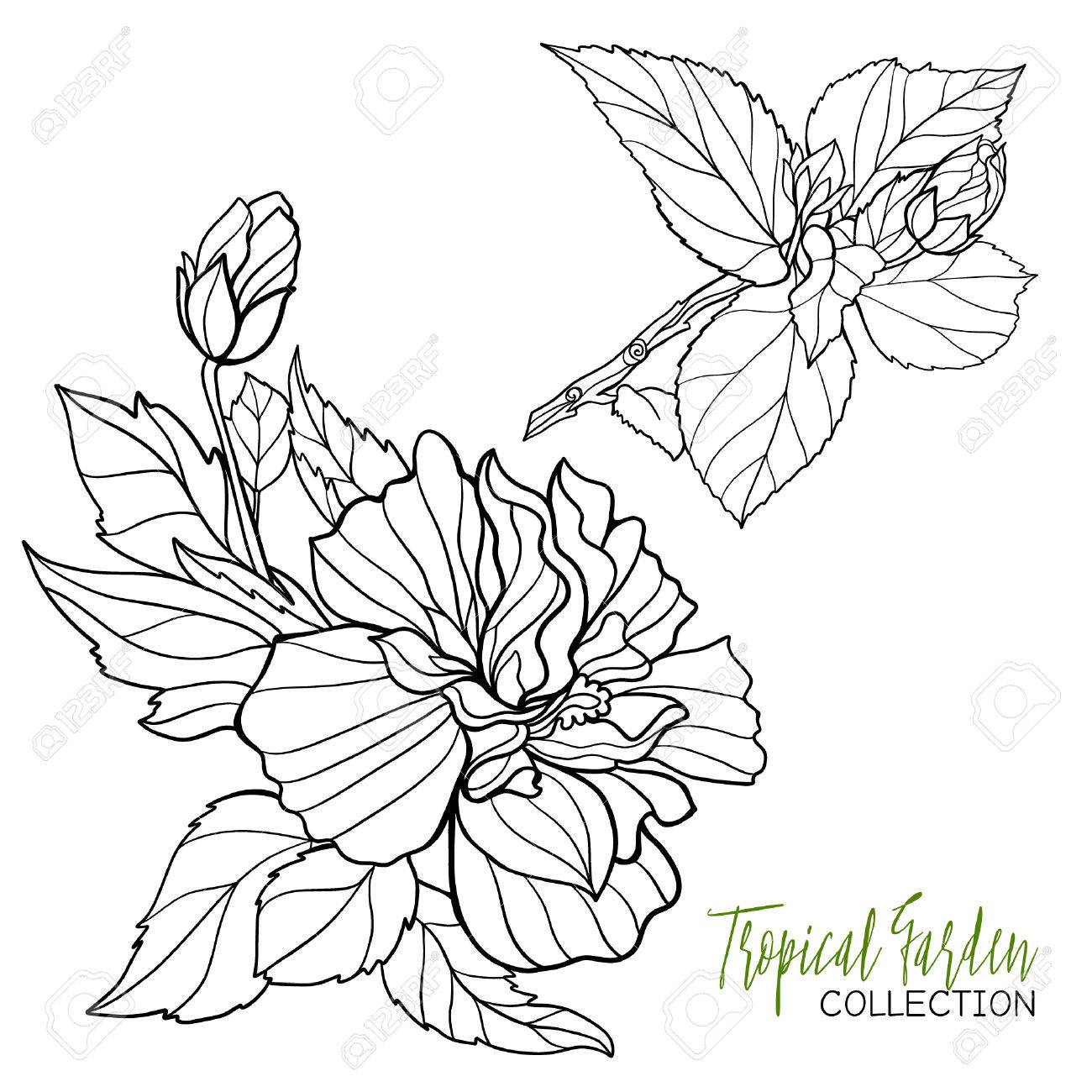 1300x1300 Hibiscus. Tropical Plant. Vector Illustration. Coloring Book