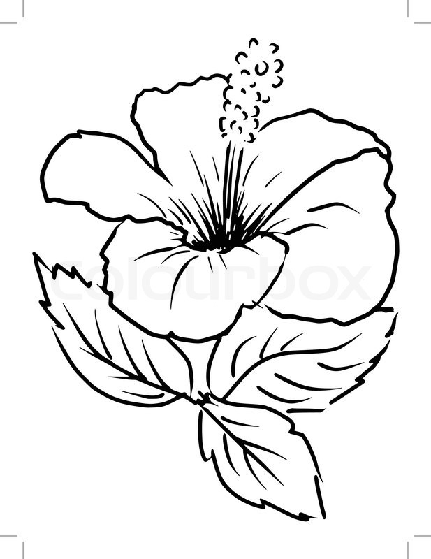 617x800 Sketch, Cartoon Illustration Of Hibiscus Stock Vector Colourbox
