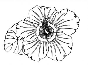 300x241 Drawn Hibiscus Detail Drawing And Coloring Flower Page For Kids