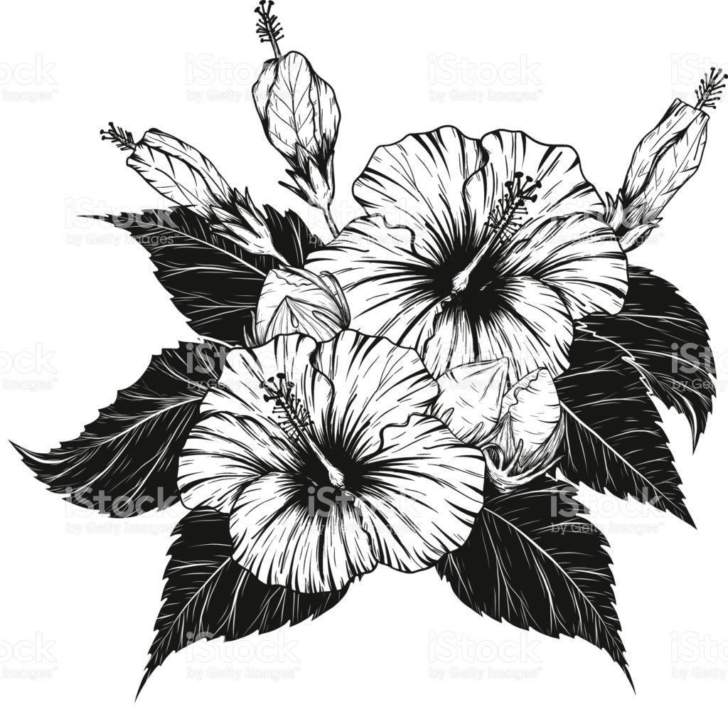 Hibiscus plant drawing at getdrawings free for personal use 1024x1001 unique top hibiscus flower vector by hand drawing pictures images izmirmasajfo