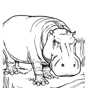 300x300 Coloring Pages Of Cute Hippos New Hippo Coloring Pages