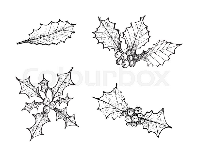 800x626 Illustration Hand Drawn Sketch Collection Of Holly Berries