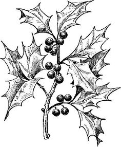 236x286 Gallery Drawing Of Holly Leaves,