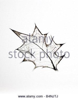 300x380 Holly Leaf Skeleton Stock Photo, Royalty Free Image 5041614