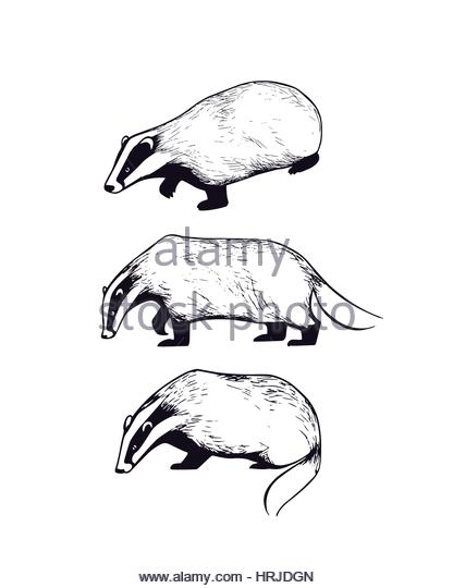416x540 Badger Illustration Stock Photos Amp Badger Illustration Stock