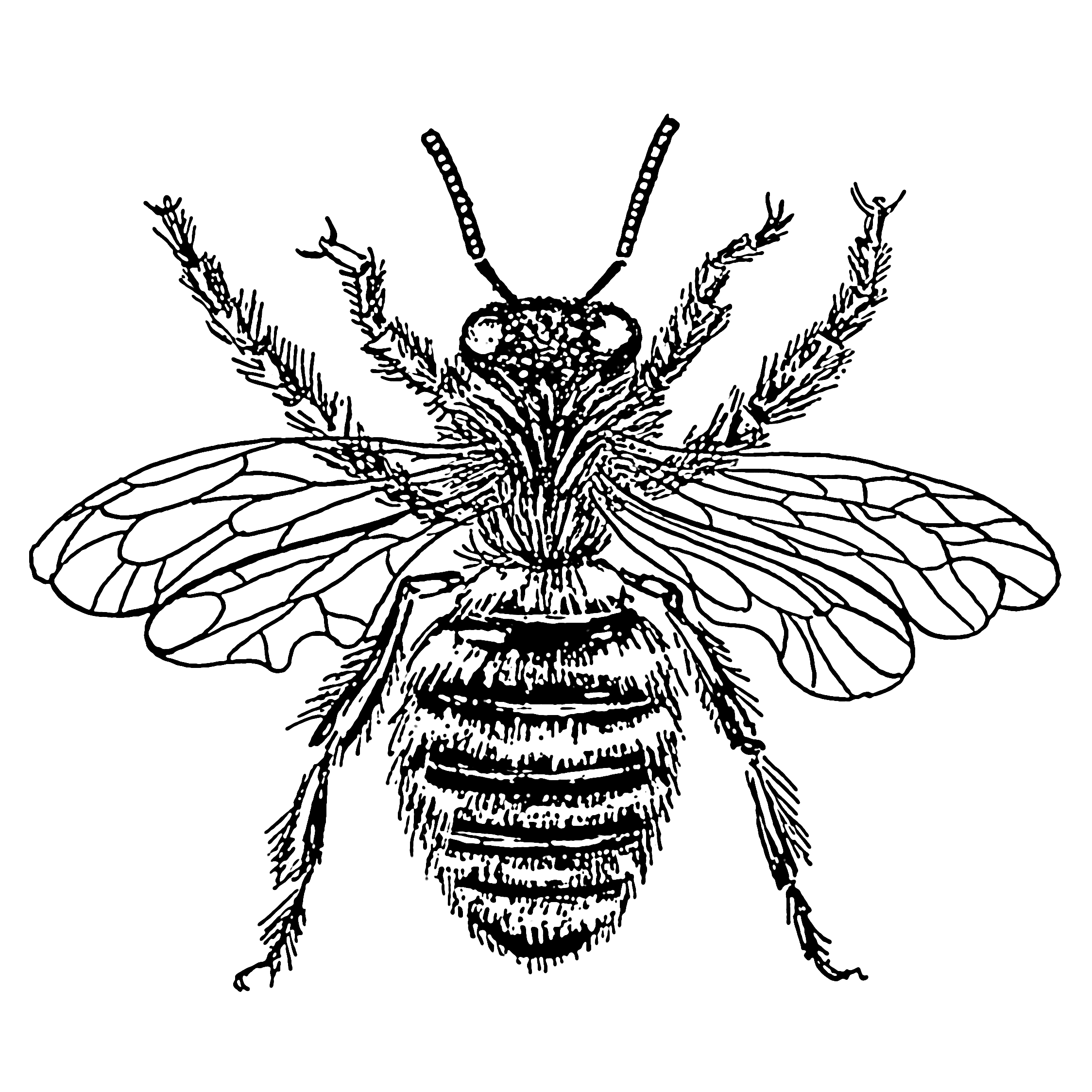 2248x2248 How To Draw A Honey Bee Description Bee
