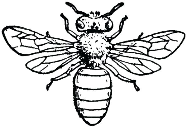 600x407 Honey Bee Coloring Pages Also Insect Honey Bee Coloring Pages Qsj