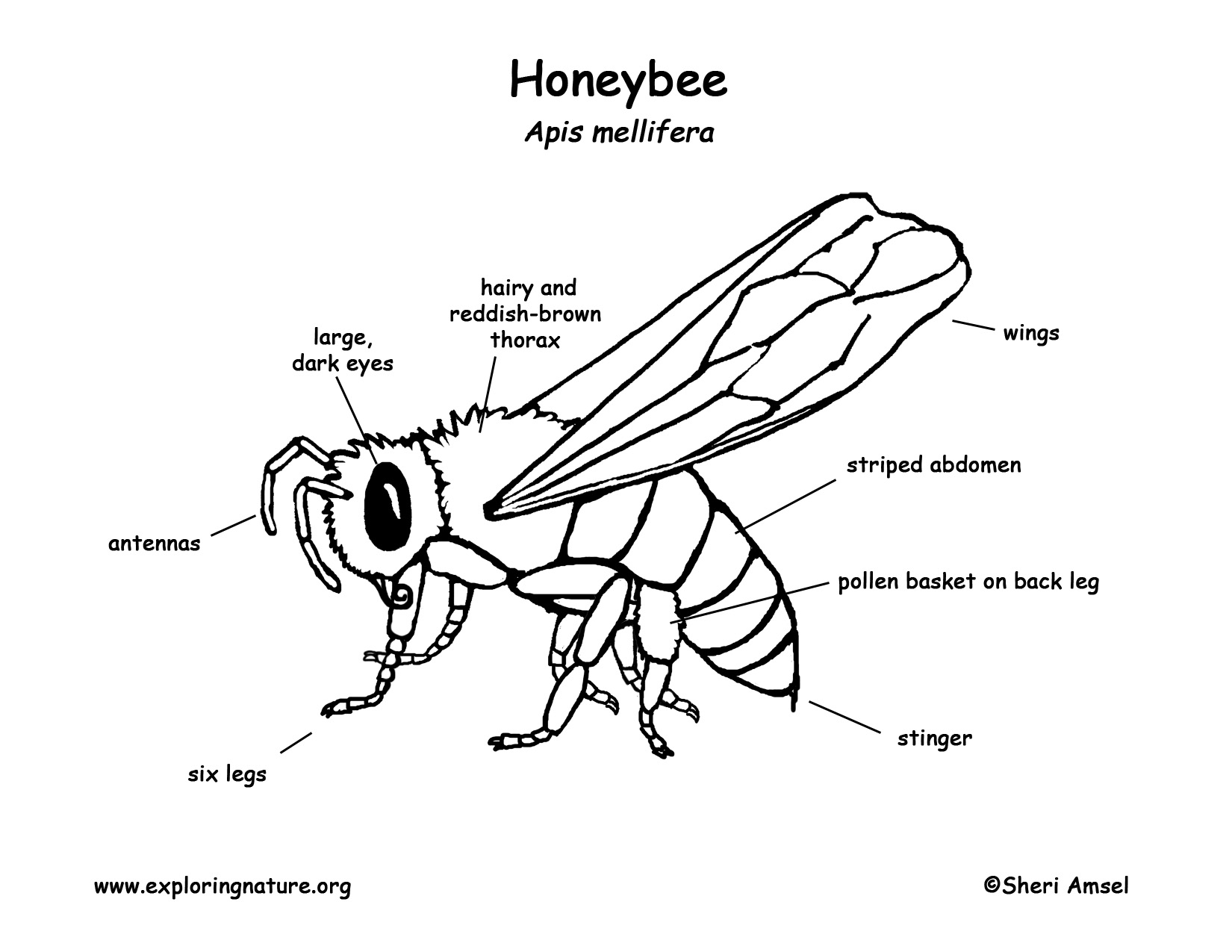 Honey Bee Line Drawing at GetDrawings.com | Free for personal use ...