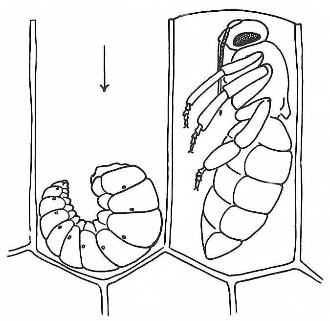675x656 How To Draw A Honey Bee Honey Bee (Apis Mellifera). Larva Amp Pupa