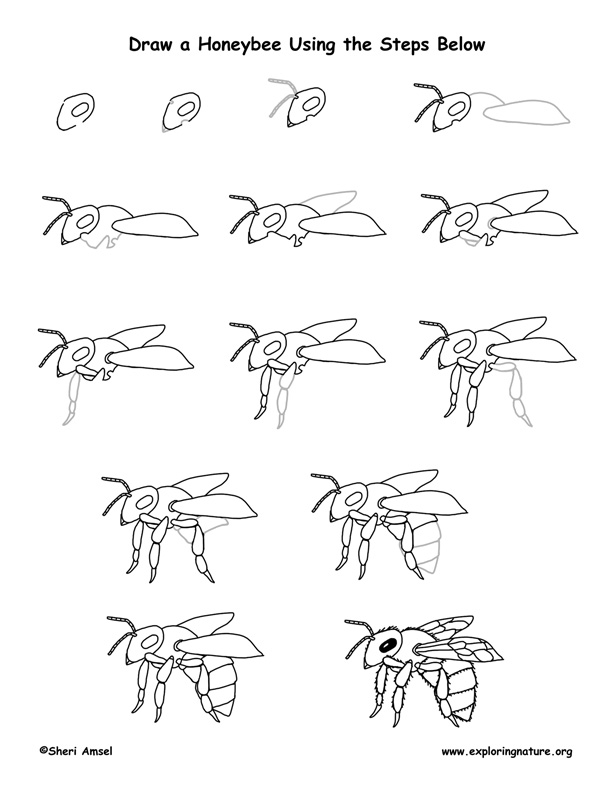 612x792 Honeybee Drawing Lesson Bees Drawing Lessons, Draw