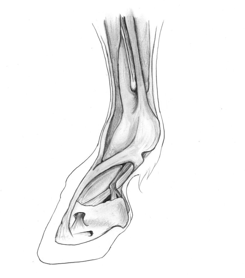 839x952 Horse Hoof Muscles And Tendons By Lacie Lady Lynx