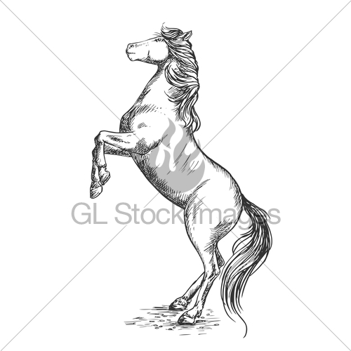 500x500 White Horse Rearing On Hind Hoof Sketch Portrait Gl Stock Images