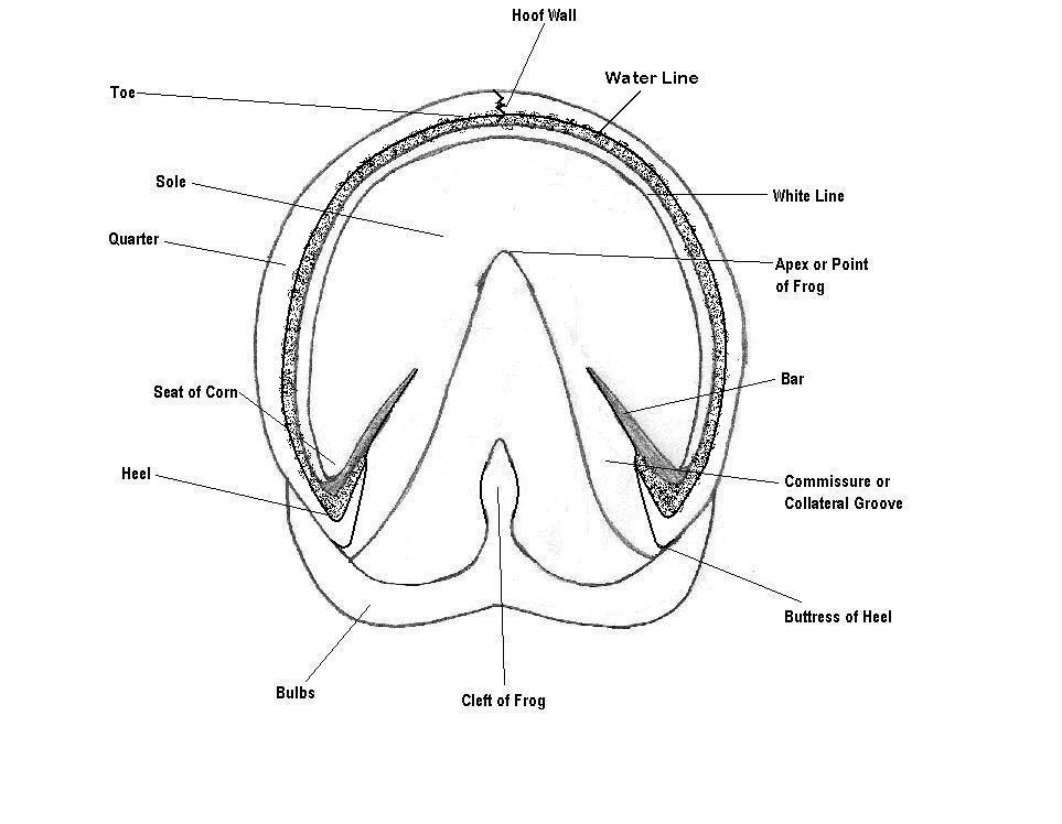 Horse Foot Diagram External - Electrical Work Wiring Diagram •