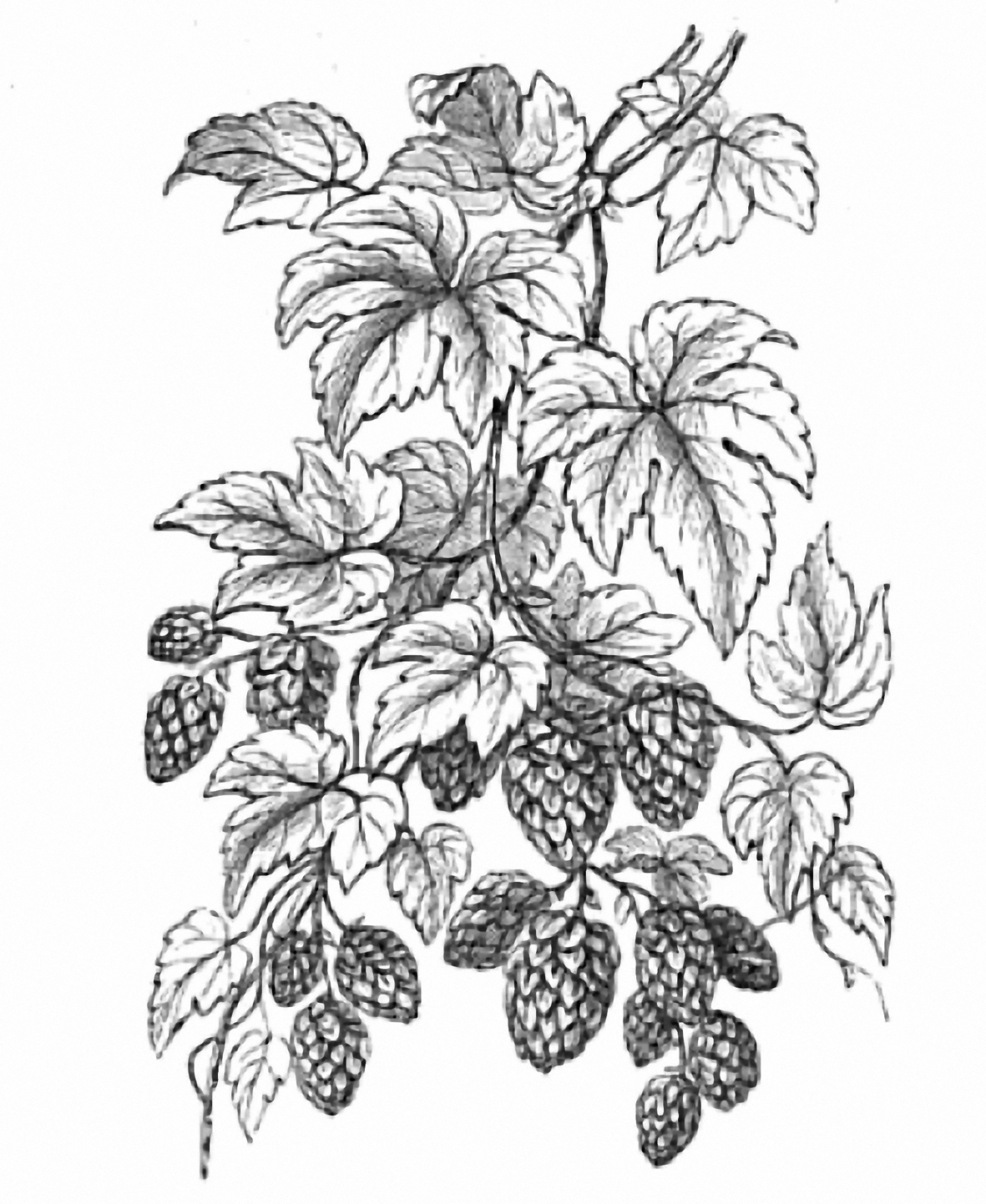 1181x1443 How Long Have English Brewers Been Using American Hops Much