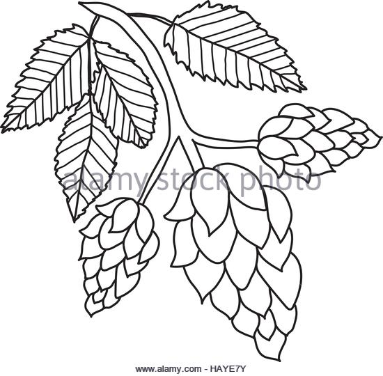 550x540 Drawing Style Illustration Hop Plant Stock Photos Amp Drawing Style