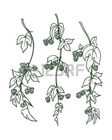 360x450 Hop Clipart Botanical Illustration