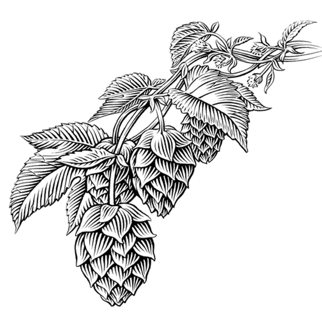 1280x1280 Hops Drawing