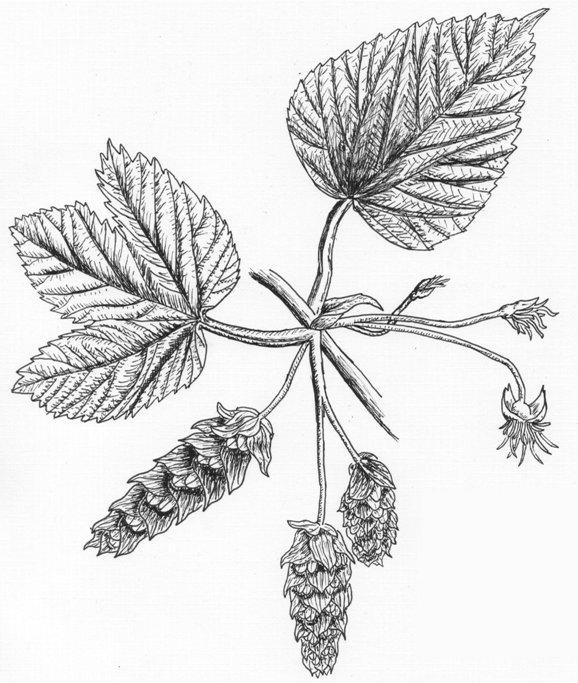 578x683 Mike Is Bored Great Hops(Humulus Lupulus) Illustration Plates