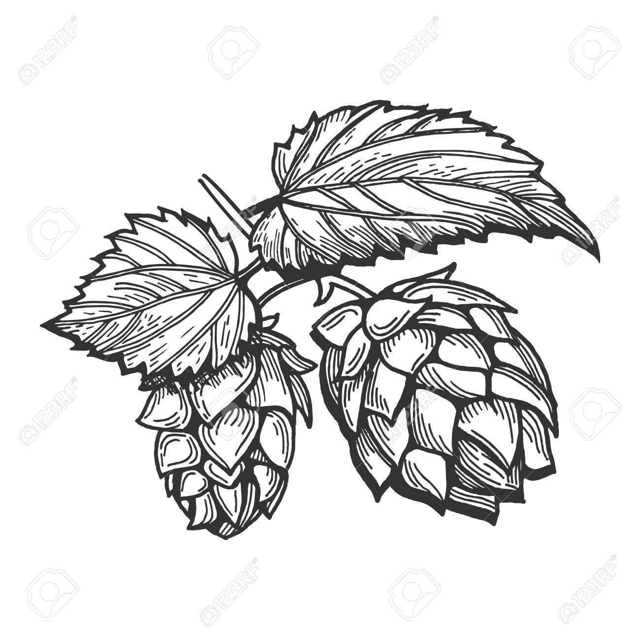 1300x1300 Vector Illustration Of A Hops With Leaves Branch. Hand Drawn