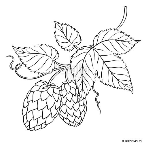 500x500 Branch Of Hops Coloring Book Vector Stock Image And Royalty Free