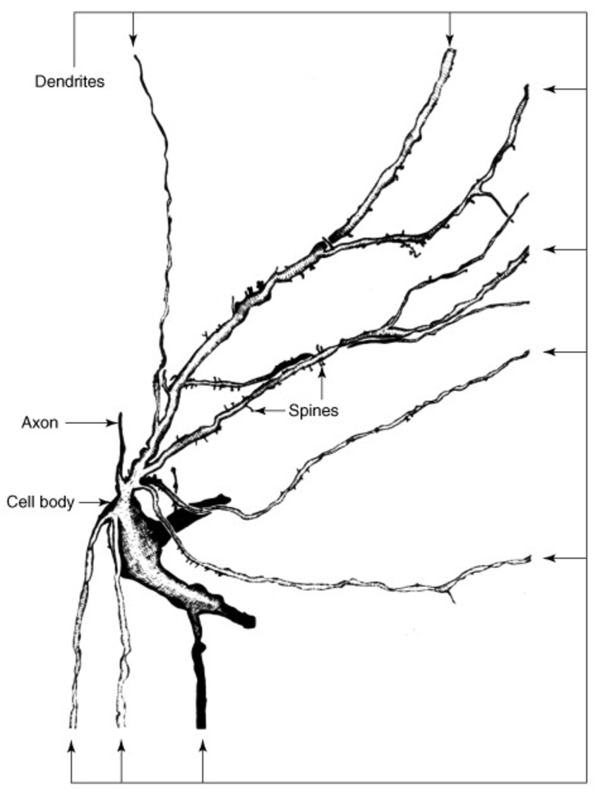 850x1124 Drawing Of A Sensory Neuron From The Dorsal Horn Of The Spinal