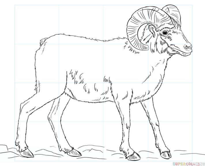 711x575 How To Draw A Bighorn Sheep Step By Step Drawing Tutorials